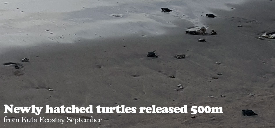 Newly hatched turtles released 500m from Kuta Ecostay September